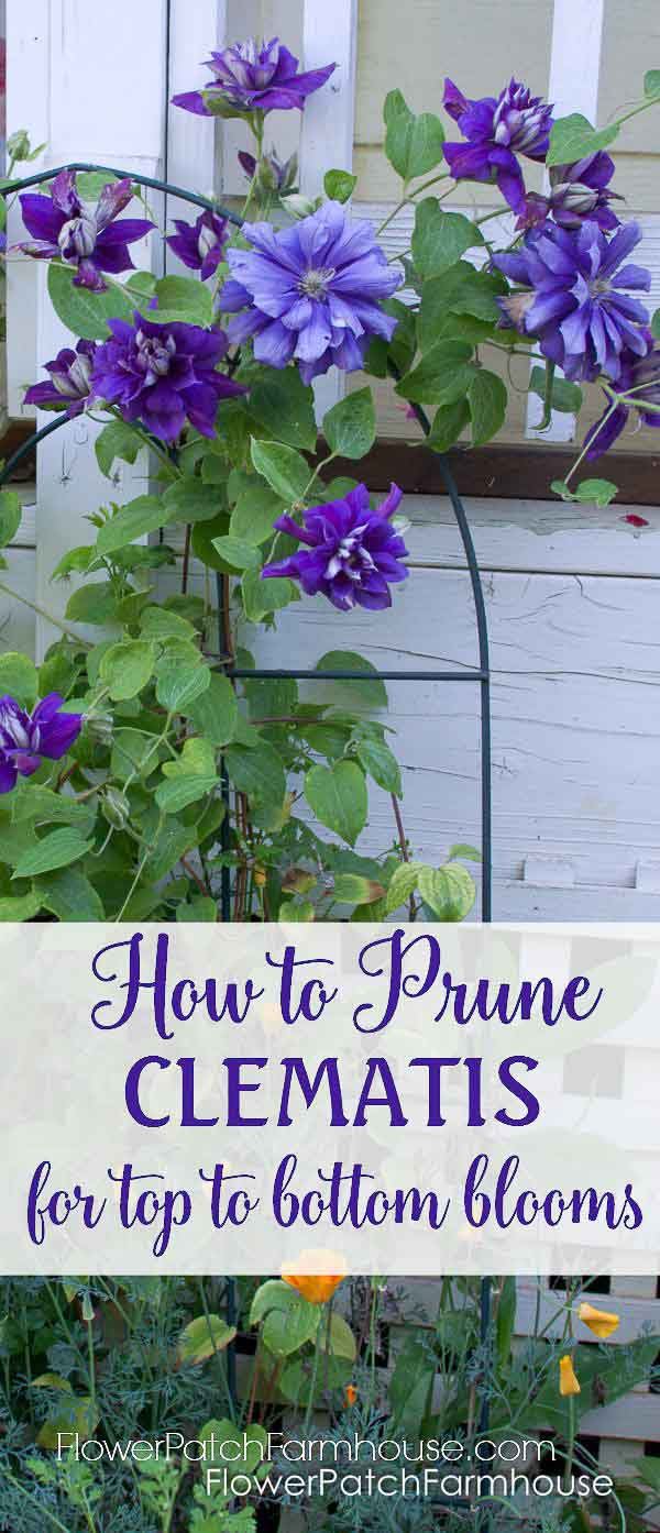 How to Prune clematis for top to bottom bloom.  A simple technique that will promote blooms lower on the vine.  Clematis are very forgiving so don't worry and give it the trim it needs.