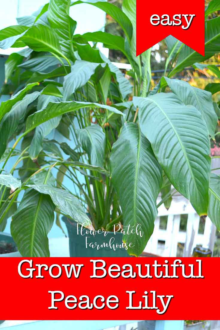 Peace Lily plant with text overlay, Grow beautiful Peace Lily, FlowerPatchFarmhouse