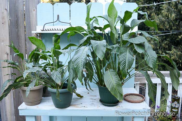 Peace Lily House Plant Containers on classic peace lily plant, chinese evergreen house plant, marginata house plant, dragon plant, weeping fig house plant, holly house plant, artificial bamboo house plant, peace lily family plant, black gold lily plant, problems with peace lily plant, white and green leaves house plant, peace lily potted plant, croton house plant, peace plant brown leaves, peace lily plant benefits, zamiifolia house plant, droopy peace lily plant, pineapple plant house plant, funeral peace lily plant, black bamboo potted plant,
