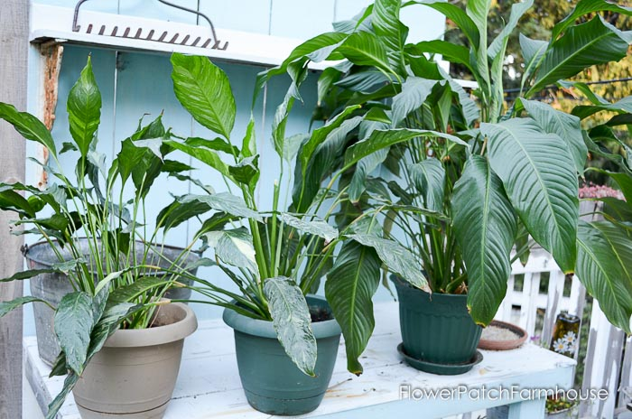 caring for your peace lily - Peace Plant Care