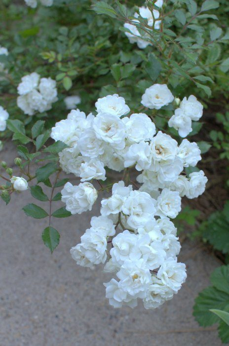 baby-white-roses