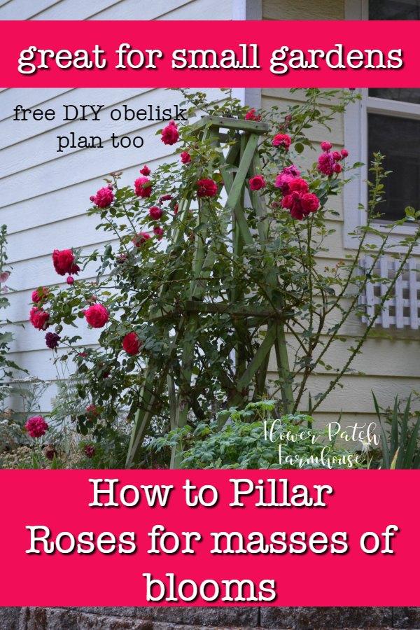 Tess d'Ubervilles rose climbing a diy obelisk, Text overlay How to pillar a rose, flowerpatchfarmhouse