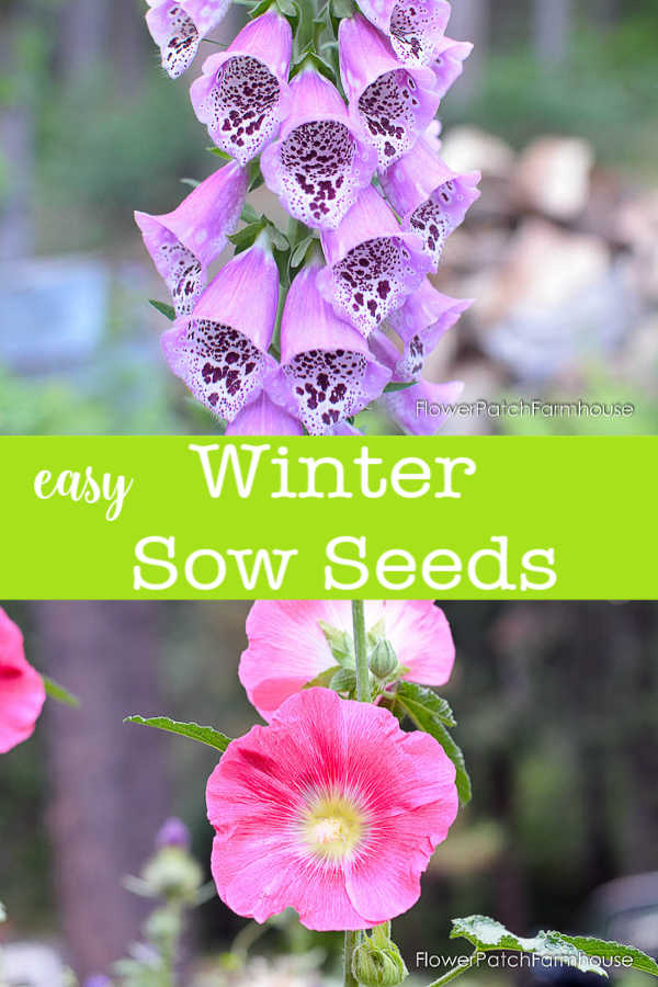 Winter sowing of seeds is a wonderful way to get masses of flowers in Spring and Summer.  Easy for beginner gardeners and budget friendly! Try it today and see how easy it can be. #smallgarden #easygardening