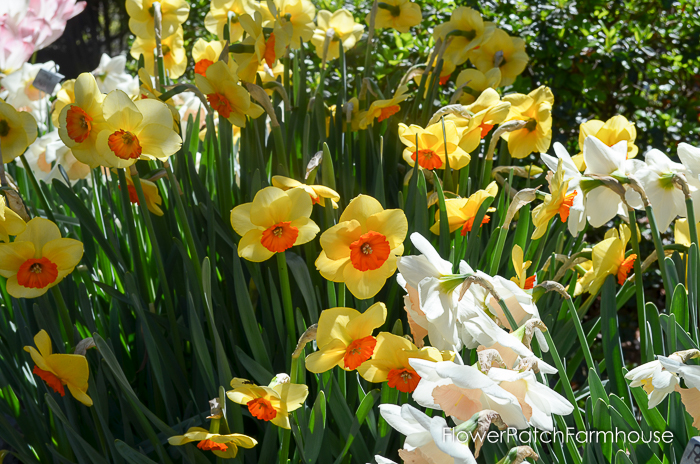 Ironstone Wineries Daffodils 2017, garden tour wine barrel container garden, daffodils at Ironstone