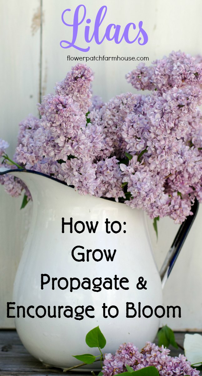 All About Lilacs. How to grow, propagate and encourage to bloom.  Spring is so much sweeter when you have Lilacs.  Lilacs are one of the earliest flowers to perfume the air and I show you how to have them lining your garden.