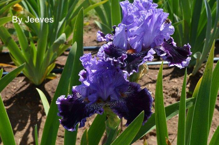 Iris Garden Visit 2017, Some gorgeous Iris for you to Enjoy, Superstition Iris Garden
