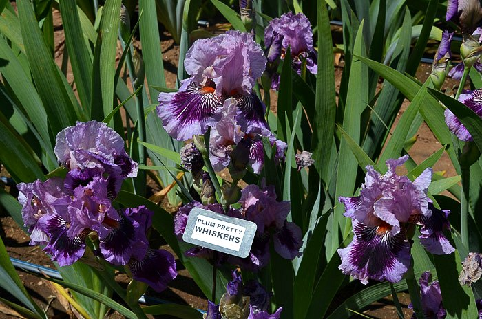 Superstition Iris Garden Visit 2017 Flower Patch Farmhouse