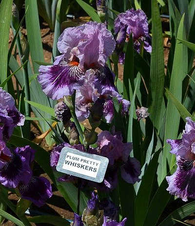 Superstition Iris Garden Visit 2017