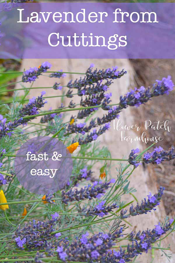 Propagating lavender from cuttings is one of those really easy and rewarding garden pleasures.  Not only do you get more plants but it is just plain fun to grow more for free.  #cottagegarden #propagation #lavender #easygarden #smallgarden #gardening #cuttings