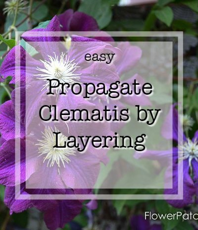 Purple clematis with text overlay, easy Propagate Clematis by Layering, Flower Patch Farmhouse