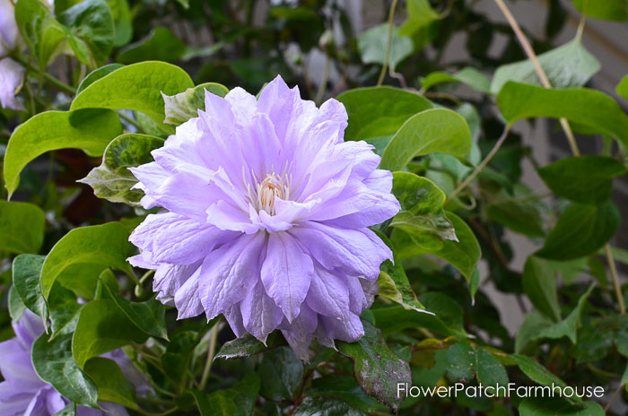 Belle of Woking clematis garden tour late may 2017