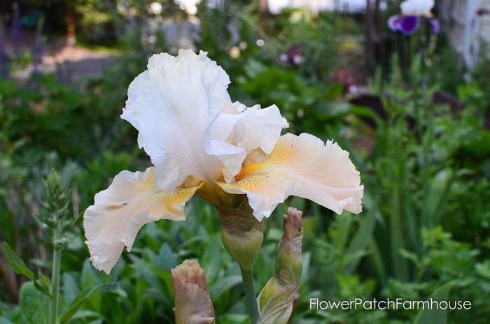 Champagne Elegance Iris, garden tour late may 2017