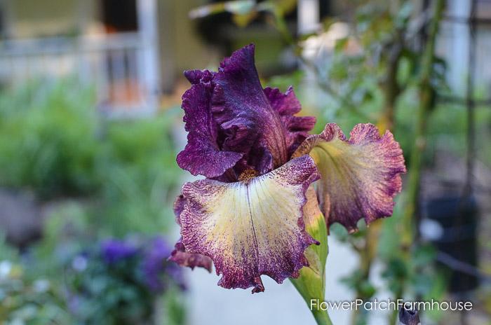 Boysenberry Truffle Iris, garden tour late may 2017