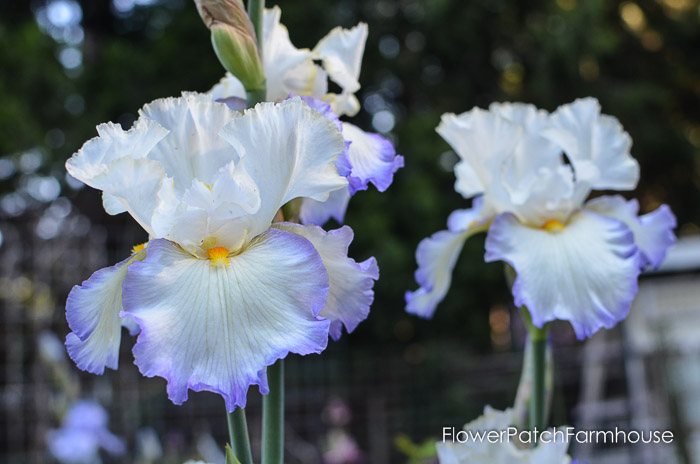 White Iris with Lavender edging om falls and a yellow beard