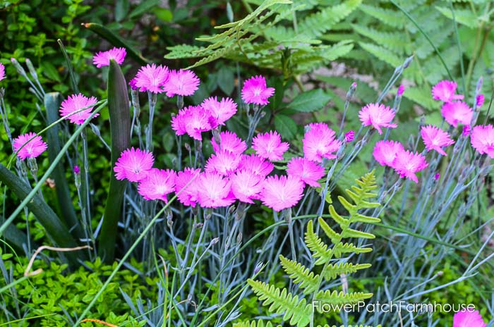 Fire Witch Dianthus garden tour late may 2017