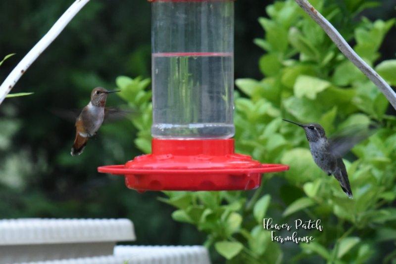 Allens hummingbirds at feeder