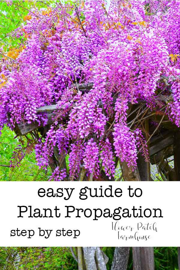 wisteria blooming with text overlay, easy guide to plant propagation, Flower Patch Farmhouse