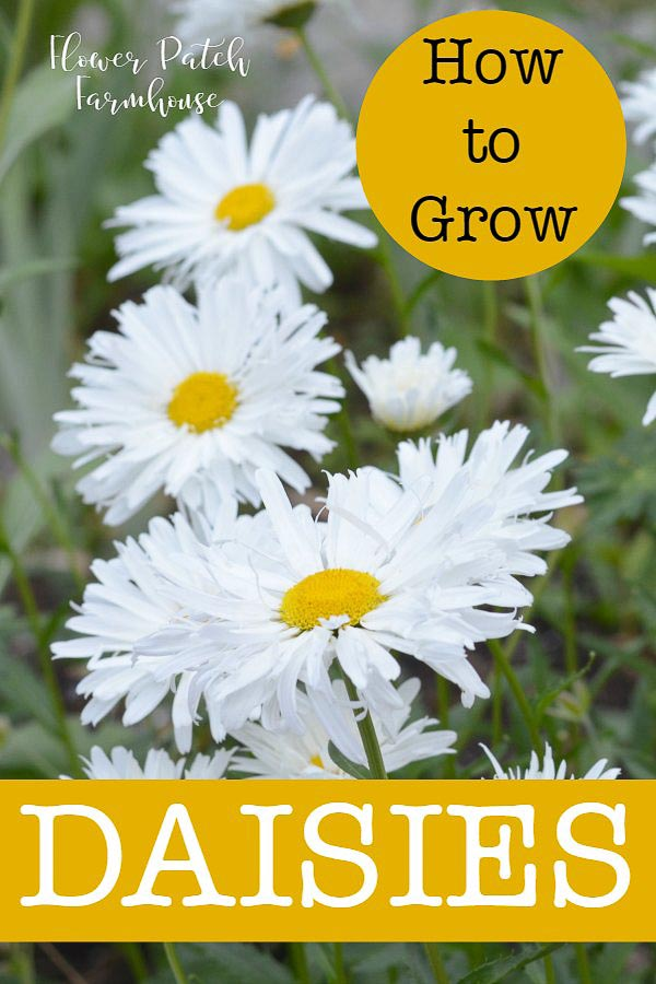 How to Grow Daisies in your cottage garden. An easy, drought tolerant perennial that comes in many shapes, sizes and forms.#cottagegarden #daisies #droughttolerant #easyperennials #smallgardens