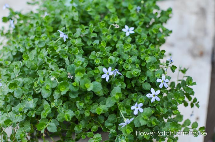 gorgeous groundcovers blue star creeper