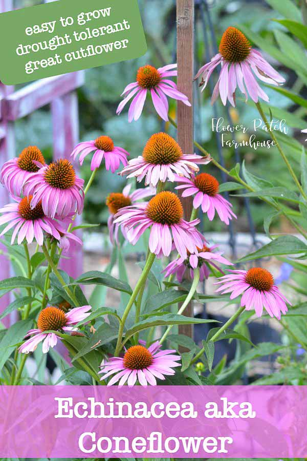 How to grow echinacea aka coneflower easily. Echinaceas are a long lived perennial that grow well in a variety of conditions. They make fantastic cut flowers, are drought tolerant while attracting bees and butterflies in droves. #cottagegarden #easyflowers #gardening #smallgardens #droughttolerant #cuttinggarden