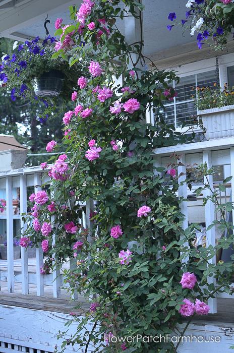 early June 2017 Garden tour, Zepherine Drouhin rose