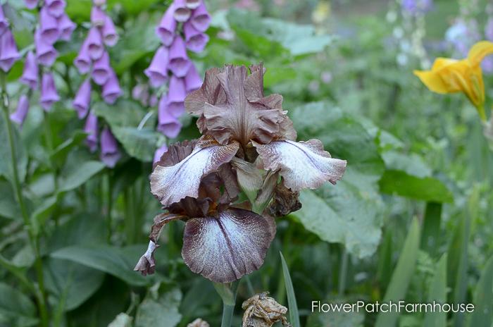 early June 2017 Garden tour, Huckleberry Iris