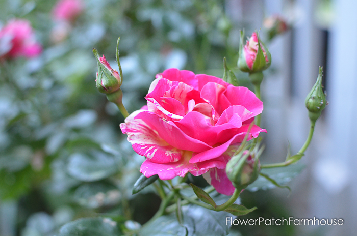 early June 2017 Garden tour, Candyland Rose