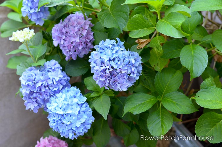 hydrangea blue and pink