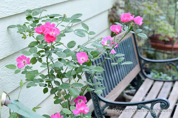 Kirsten Poulson rose, beside studio and bench