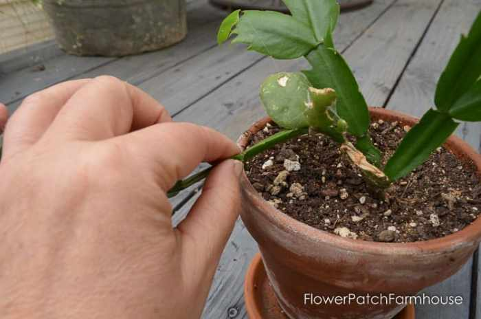 How To Root Christmas Cactus Plant From A Cutting Simple Way Propagate Some