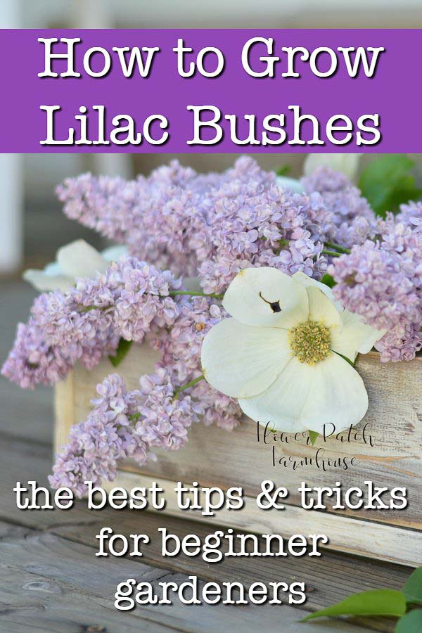 Lilac blooms in a wooden box with dogwood flower, text overlay, How to Grow Lilac bushes, the best tips and tricks