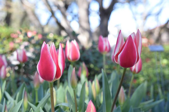 Pink Stripe Tulip