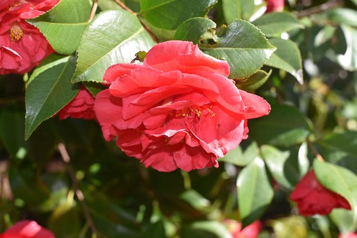 Red Camillia