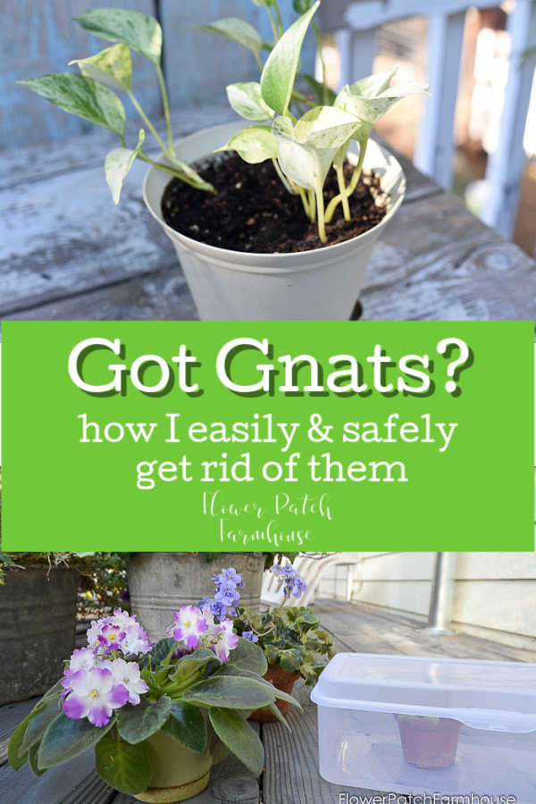 Potted plants with fungus gnats, how to get rid of fungus gnats