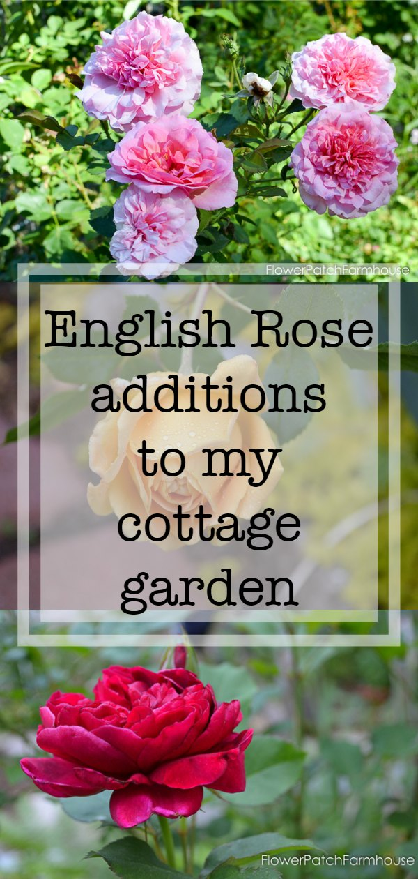 I love English roses, they are hardy, easy to grow and bloom constantly.  The fragrance adds sweet delight to my garden walks! Come and see what I have and what I added new this year.  #DavidAustinRoses #cottagegarden #roses #smallspacegardening