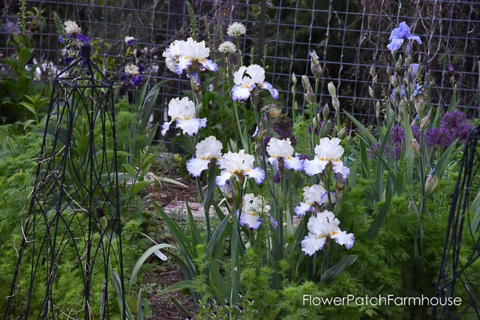 Iris, Dutch Iris, Garden Journal May 17th and 24th