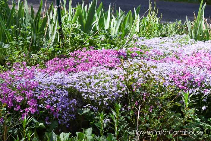 Creeping Phlox, Garden Tour May 6 2018