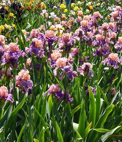 Iris Garden visit 2018