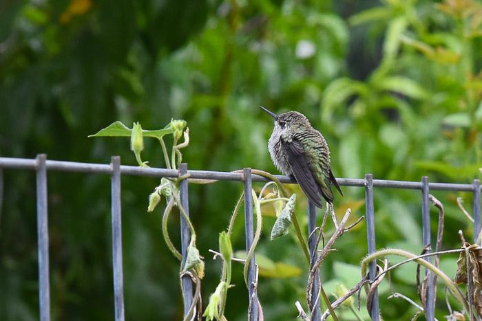 Fat Hummingbird, Garden Journal July