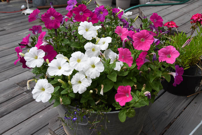 Petunias in Tub, Flowers that attract Hummingbirds
