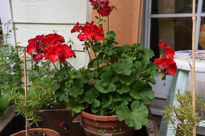 Zonal Geraniums, Red pelargoniums. August 27 garden journal