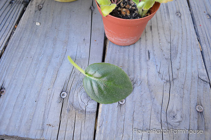 African Violet Leaf, easy Propagate African Violets