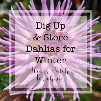 Cactus dahlia with text overlay, dig up & store dahlias for winter