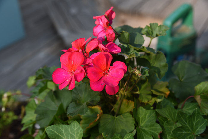 Bright pink zonal geranium, Garden Journal