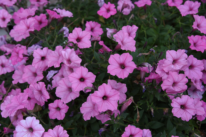Vista Bubble Gum pink petunias in wine barrels.