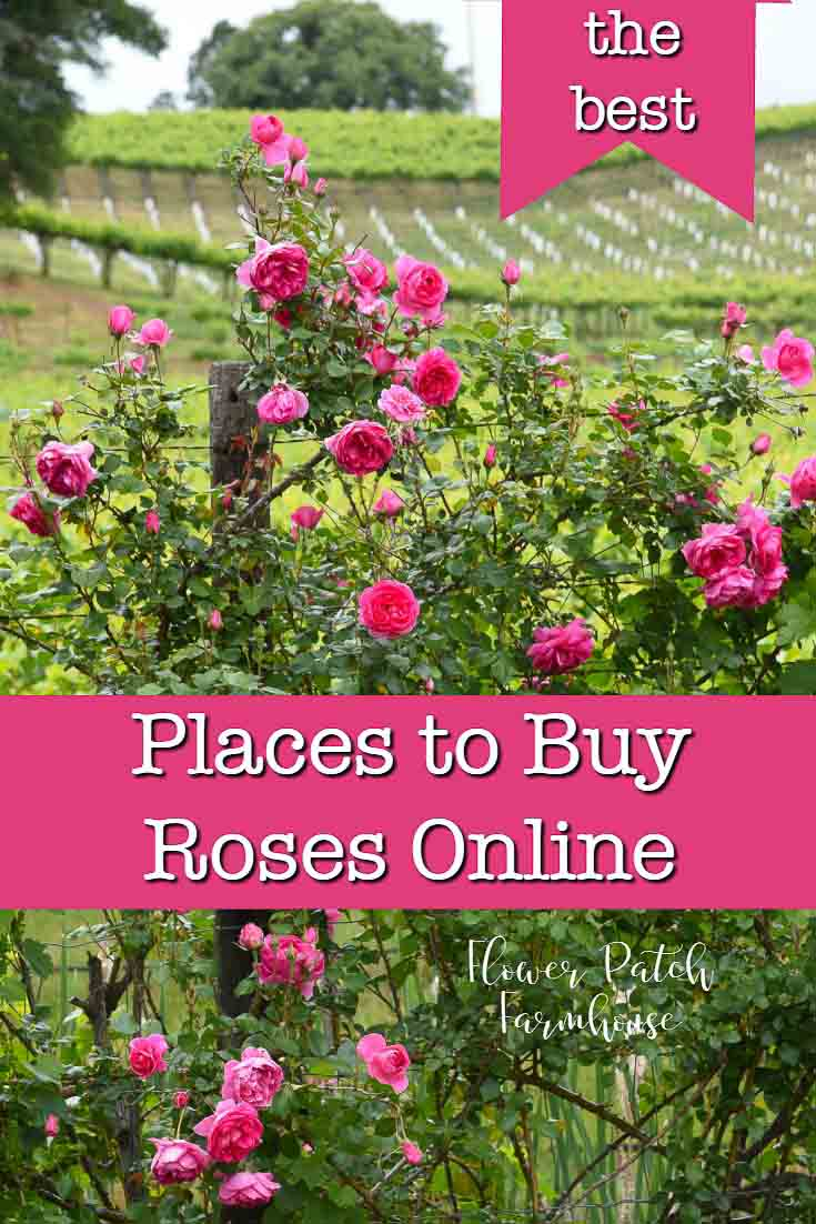 Buying roses online can be sketchy. I share my favorite reputable rose growers that sell and ship healthy, robust roses online.  Get fabulous roses delivered right to your door. #growroses #easygardening #beginnergarden