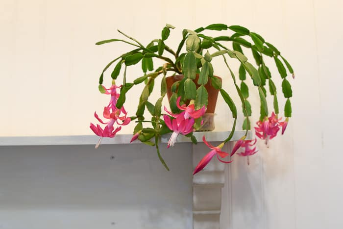 Blooming Christmas Cactus on Shelf, flowerpatchfarmhouse.com