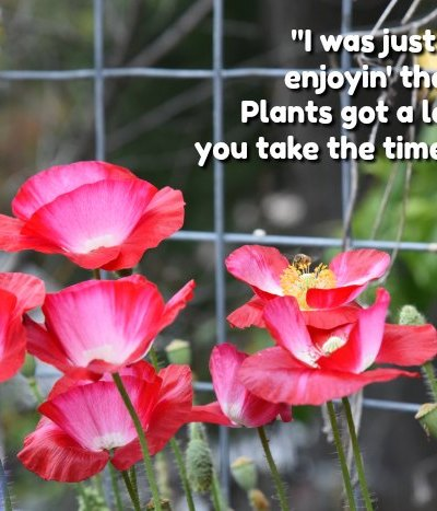 Red poppies with text overlay, garden quote, FlowerPatchFarmhouse.com