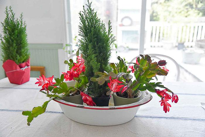 Thanksgiving Christmas Cactus in Graniteware tub, FlowerPatchFarmhouse.com