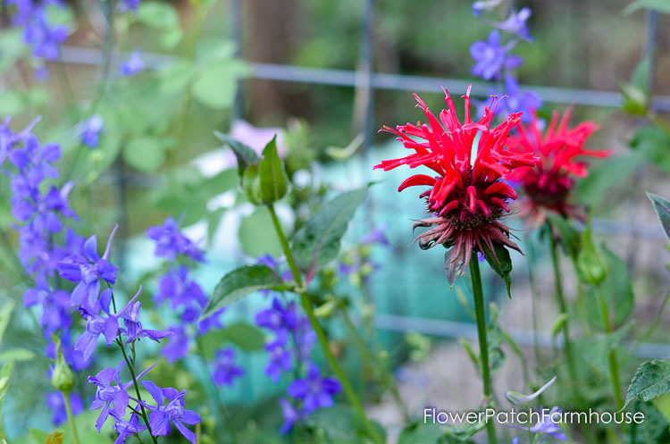 Monarda Bee Balm and Larkspur Flowers,
